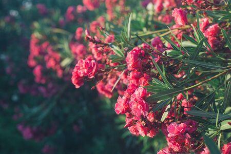 Vista cercana de adelfa rosa o flores de Nerium floreciendo en el árbol. Hermoso fondo floral colorido Foto de archivo