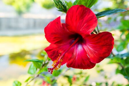 Red hibiscus flower on a green Banque d'images - 130797617