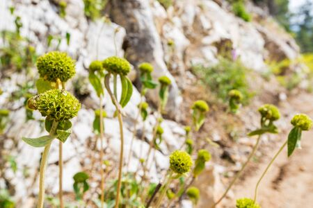 Buds of Turkish sage in a mountains, Phlomis russeliana, is a species of flowering plant in the mint family Lamiaceae.