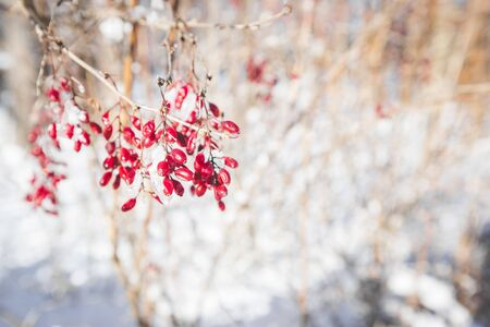 Berries of barberry. Barberry on the branch. Barberry in frost on branches. Winter background. Banco de Imagens