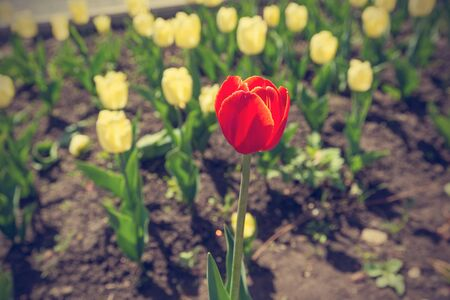 A single red tulip blooming among a field of yellow
