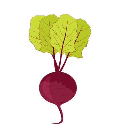 fresh beet with green leaves Vector Illustratie