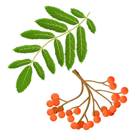Bunch of red rowan berries isolated