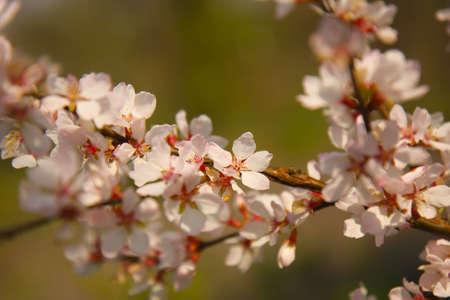 Apple blossom on a branch close-up, shallow depth of field. Standard-Bild
