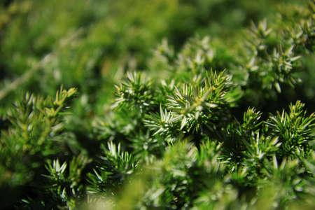 Grüner Hintergrund zeigen vibrant Juniper-Filialen. Shallow Depth of Field. Standard-Bild - 7643227
