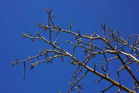 Isolierte bare Zweig mit einigen Knospen im Vordergrund. Klare dunklen-blauen Himmel im Hintergrund. Standard-Bild - 7643222
