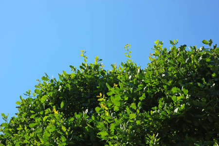 Oak leaves on a tree under the sun on a bright day. Clear blue sky at the background. Standard-Bild