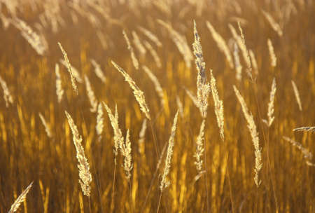 Spikelets of grass forming a natural golden background. Shallow depth of field.