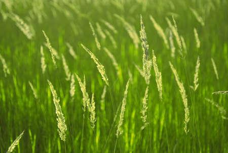 Green background with vivid spikelets of grass. Shallow depth of field. Standard-Bild