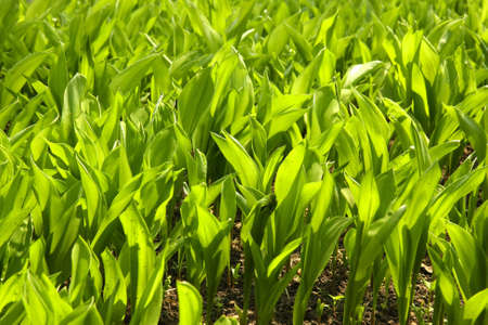 Multiple vibrant leaves of lily of the valley in a garden. Standard-Bild