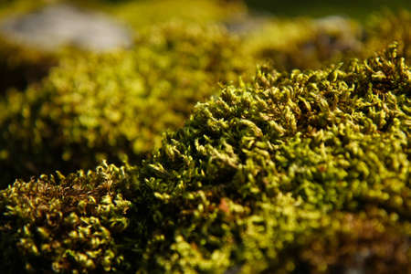 Closeup shot of a wool-like moss surface in a park. Shallow depth of field.
