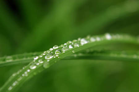 Fresh morning dew in a form of small water drops on a green grass. Intentional shallow depth of field.