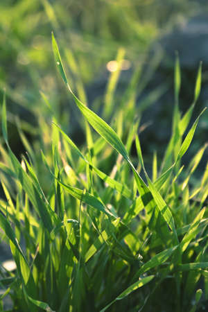 Closeup  image of a green grass lightened by the morning sunlight
