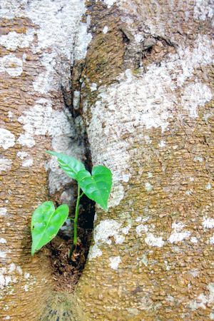 offshoot: plant in kandy