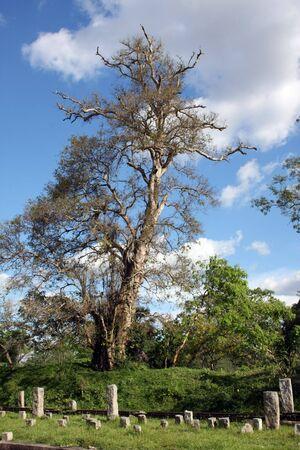Old tree, Anuradhapura, Sri Lanka Stock Photo - 4305575