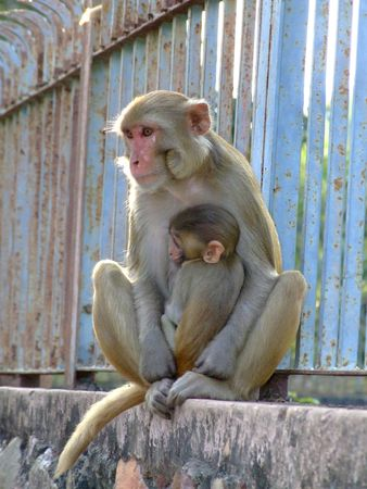 monky with her baby ,India
