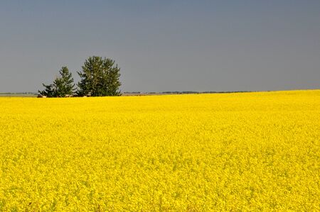 Canola fields before harvest