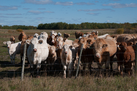 Herd of Cows in a field Stock Photo