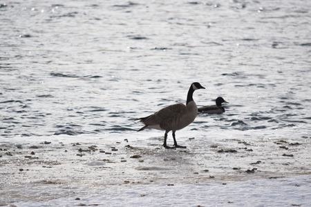 Canadian Geese on ice near open water Stock Photo