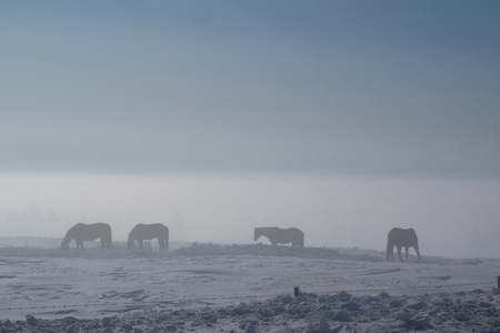 Silhouettes of horses in thick winter fog