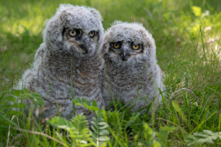 Baby Great Horned Owl (Bubo virginianus), also known as the tiger owl is a large owl native to the Americas. Stock Photo