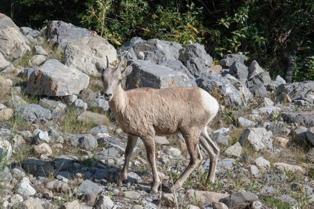 Mountains Goat (oreamnos americanus) also known as the Rocky Mountain Goat is a large hoofed mammal endemic to North America