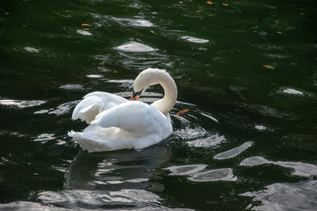 Close up of Swan (Cygnus) on calm water