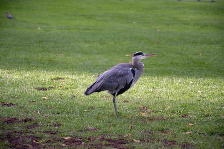 Grey Heron (Ardea Cinerear) on a lush green lawn.