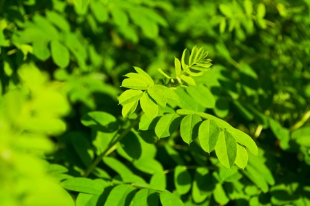 Acacia branches. Lots of green leaves.