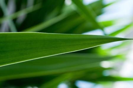 Agave green leaf, macro