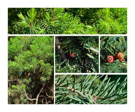 Fir & juniper trees collage