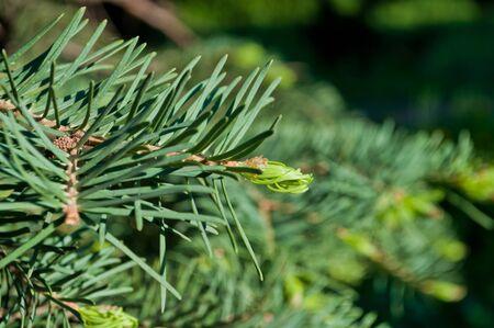 Fir tree branch with a new green shoot