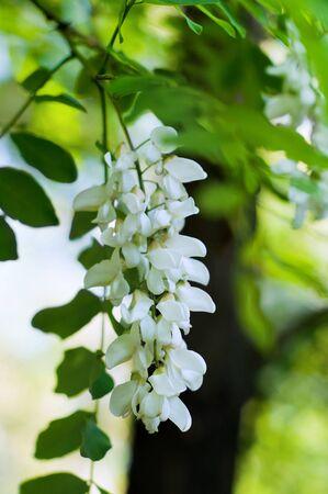 Acacia white flowers branch Stock Photo