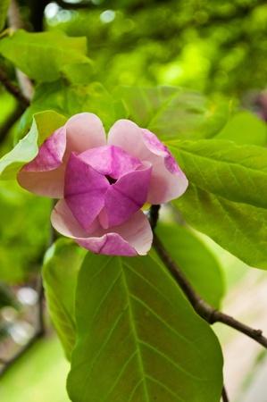 Half-opened magnolia bud