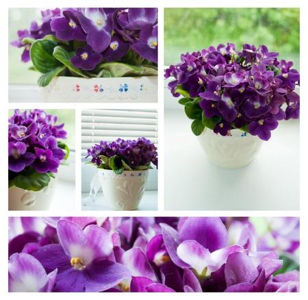 Purple violets collage