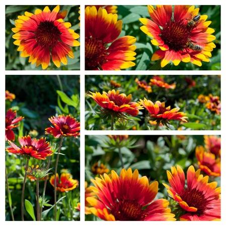Gaillardia aristata Bijou flowers collage photo