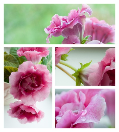 Pink gloxinia flowers collage