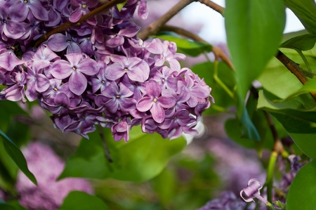Lilac flowers and leaves. Saturated macro.