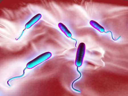colera: These Gram-negative rod-shaped bacteria have a single polar flagellum.They are the cause of cholera, an infection of the small intestine that is transmitted to humans via contaminated food or water