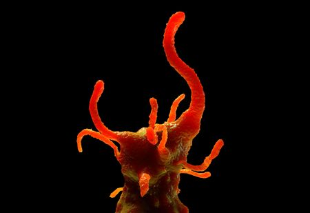 ameba: protozoo Amoeba proteus. Se trata de un organismo unicelular de agua dulce que se alimenta de bacterias y protozoos m�s peque�os.