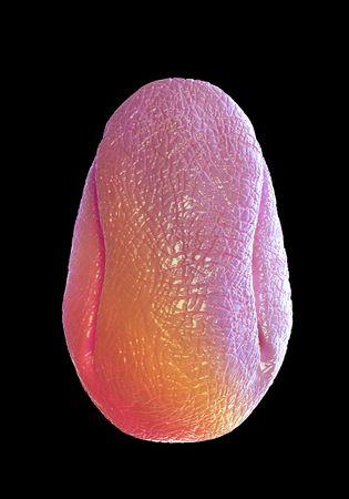 sex cell: broom pollen grain