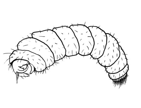 entomological: Bloodworm drawing Stock Photo