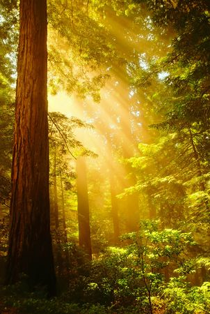 Shafts of sunlight bursting through the misty Redwoods
