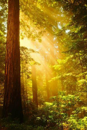 rebirth: Shafts of sunlight bursting through the misty Redwoods