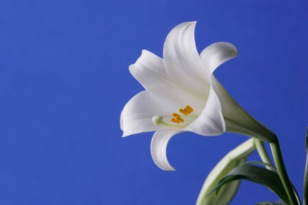 anther: Easter Lily Close Up