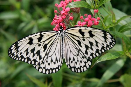 Giant Wood Nymph Butterfly - Idea leuconoe Stok Fotoğraf