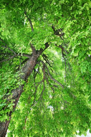 Looking up into a stately, old Horse-chestnut tree Stok Fotoğraf - 2996259