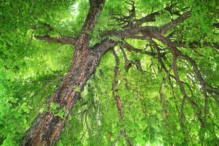 Looking up into a stately, old, Horse-chestnut tree photo