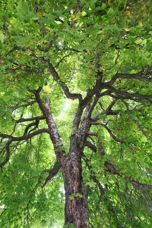 Looking up into a stately, old, Horse-chestnut tree Stok Fotoğraf