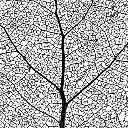 gewebe: Blatt-Skeleton Netz - Nahaufnahme eines Pappelbaum-Blattskeletts - Zeigen seines Gef��netzes